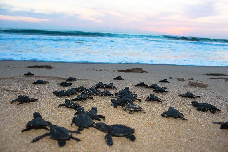 Convencionistas liberan tortugas marinas ayuntamiento de for Acuario tortugas